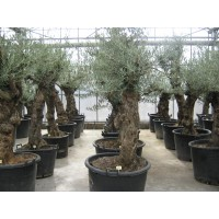 Olive, smooth trunk (girth 70 to 90 cm / height 250 to 300 cm)