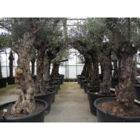 Olijfboom, karakteristieke stam (stamomtrek 75 tot 110 cm/hoogte 180 tot 240 cm)