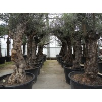 Olive, characteristic stem (trunk circumference 60 to 75 cm / height 150 to 200 cm)