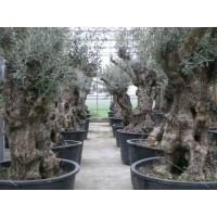 Olijfboom, karakteristieke stam (stamomtrek 100 tot 150 cm/hoogte 180 tot 250 cm)