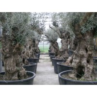 Olive, characteristic stem (girth 75 and 110 cm / height 180 to 240 cm)