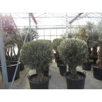 Olijfboom Bonsai met bol (stamomtrek 60 cm/hoogte 160 cm)