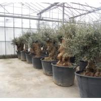 Olijfboom Bonsai zeldzaam kort (stamomtrek 110 tot 130 cm/hoogte 150 tot 160 cm)