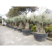 Olive Bonsai rare short (girth 110 to 130 cm / height 150 to 160 cm)