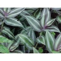 Living Wall plant: Tradescantia zebrina violet hill potmaat 12 cm