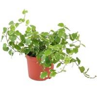 Living Wall plant: Ficus pum. Green Sunny potmaat 8,5 cm