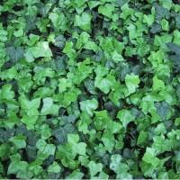 Living Wall plant: Tradescantia zebrina violet hill pot 12 cm