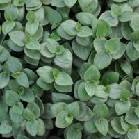 Living Wall plant: Callisia Turtle (schildpad plant)