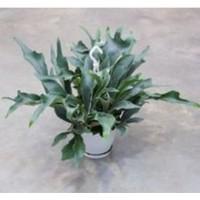 Living Wall plant: Hertshoornvaren (Platyc. bif. potmaat 9 cm)