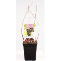 Kruising zwarte bes en kruisbes (Ribes Jostabes)