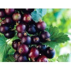 Crossing black currant and gooseberry (Ribes jostaberry)