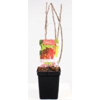 Rode Bes, midden rijpend (Ribes Rubrum Rolan)