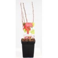 Rode Bes, laat rijpend (Ribes Rubrum Rovada)