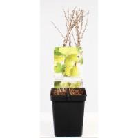 Gele Kruisbes (Ribes uva-crispa Hinnonmaki Gron)