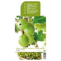 Thornless Gooseberry (Ribes uva-crispa Tatjana)