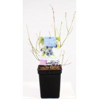 Blauwe Bes Pluk Augustus (Vaccinium Corybosum Bluecrop)