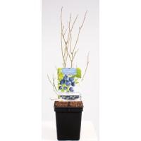Blauwe Bes Pluk Oktober (Vaccinium Corybosum Goldtraube)