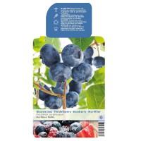 Blauwe Bes Pluk Juli/Aug - Sept/okt (Vaccinium Corybosum Hortblue Petit )