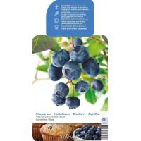 Blauwe Bes Pluk Juli/Aug (Vaccinium Corybosum Sunshine Blue)