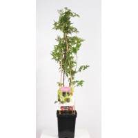 Doornloze braam (Rubus fruticosus Thornless Evergreen 4-stok)