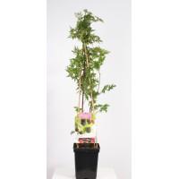Thornless blackberry (Rubus fruticosus Black Satin 4-pole)