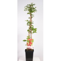 Zomerframboos (Rubus idaeus Glen Ample 4-stok)