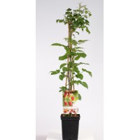 Zomerframboos (Rubus idaeus Malling Promise 4-stok)