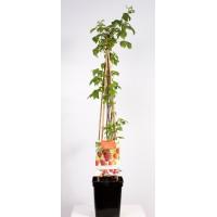 4 soorten in 1 pot (Rubus idaeus Quatro-framboos 4-stok)