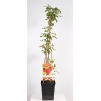 4 species in one pot (Rubus idaeus raspberry Quatro 4-pole)