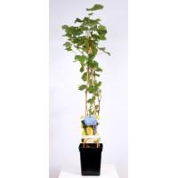 Blauwe druif (Vitis vinifera Boskoop Glorie 4-stok)