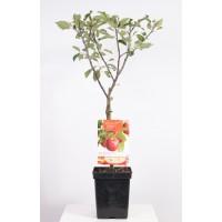 Patio Fruit Hand Apple (Malus domestica Braeburn)