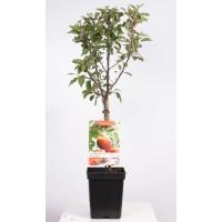 Patio Fruit Hand Apple (Malus domestica Cox orange P.)
