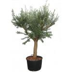 Olive trea